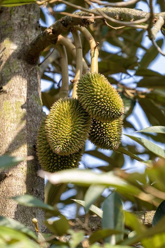 http://Durian%20|%20Payana%20Kampot